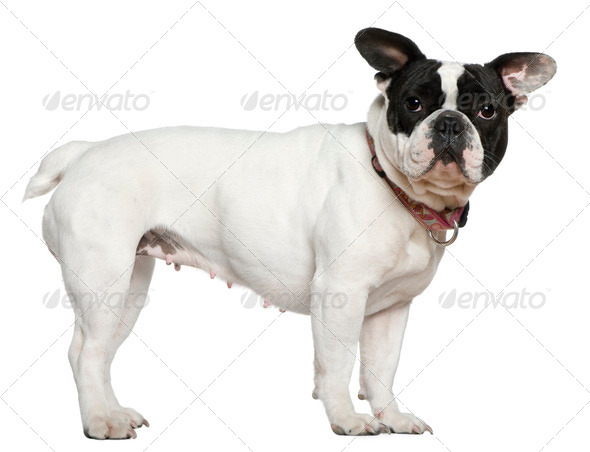 French bulldog, 1 and a half years old, standing in front of white background - Stock Photo - Images