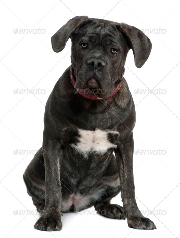 Cane Corso dog, 7 months old, sitting in front of white background - Stock Photo - Images