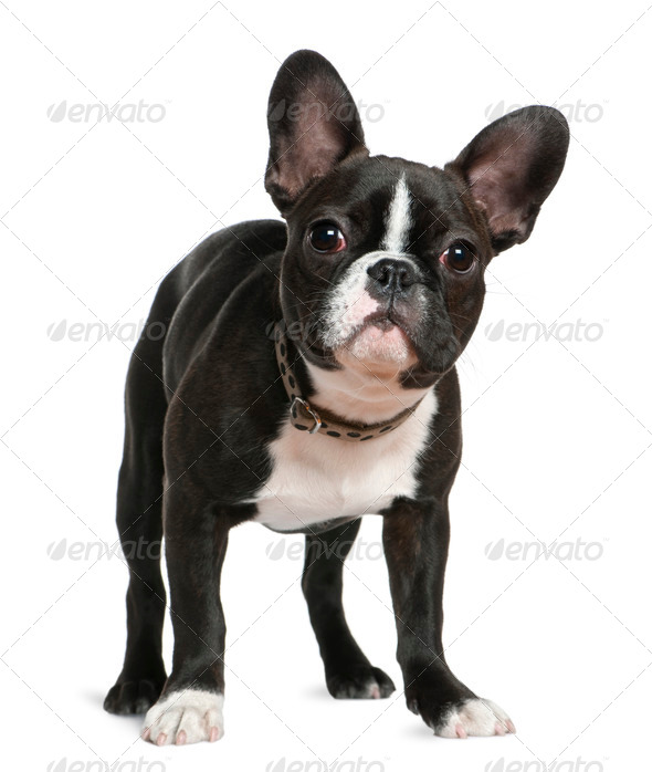 French bulldog, 5 months old, standing in front of white background - Stock Photo - Images