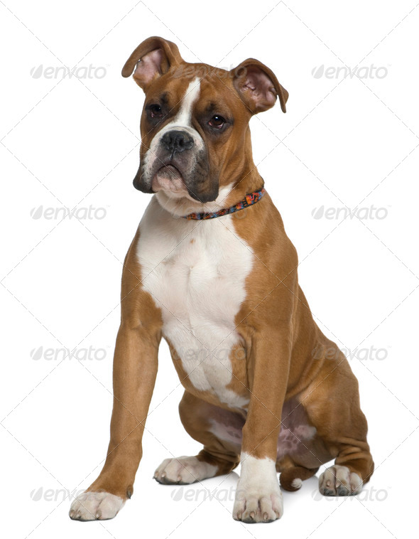 Boxer, 5 months old, sitting in front of white background - Stock Photo - Images