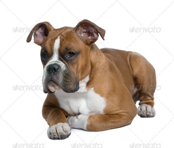 Boxer, 5 months old, lying on table in front of white background - Stock Photo - Images