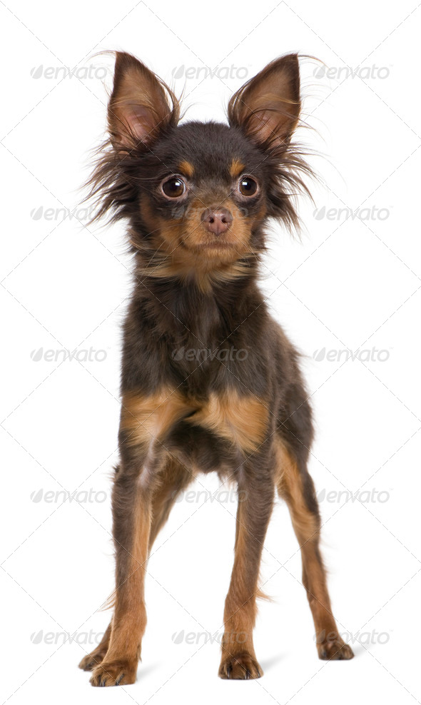 Russkiy toy dog, 1 year old, standing in front of white background - Stock Photo - Images