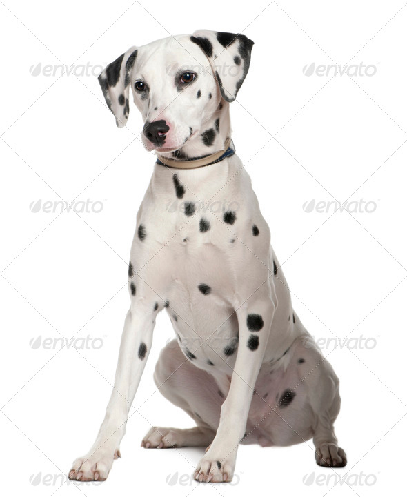 Dalmatian, 8 months old, sitting in front of white background - Stock Photo - Images