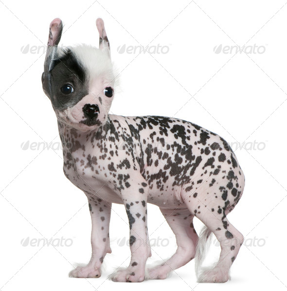 Chinese hairless crested dog, 6 weeks old, standing in front of white background - Stock Photo - Images
