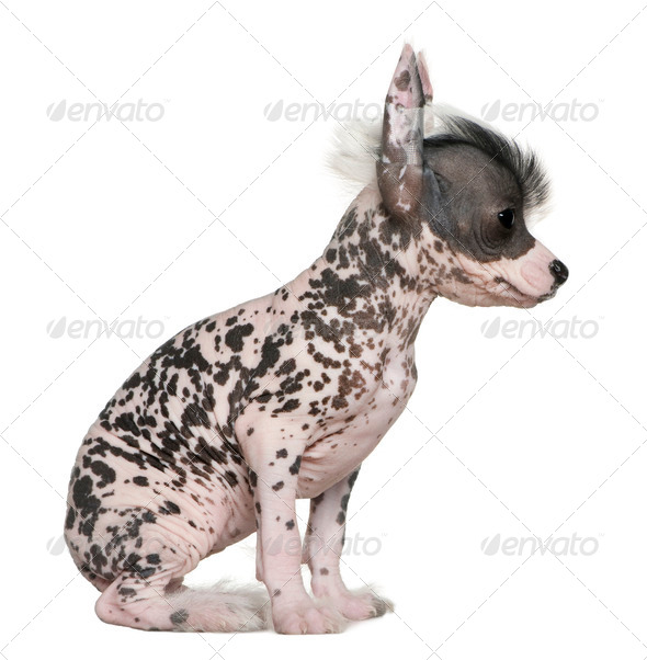 Chinese hairless crested dog, 6 weeks old, on table in front of white background - Stock Photo - Images