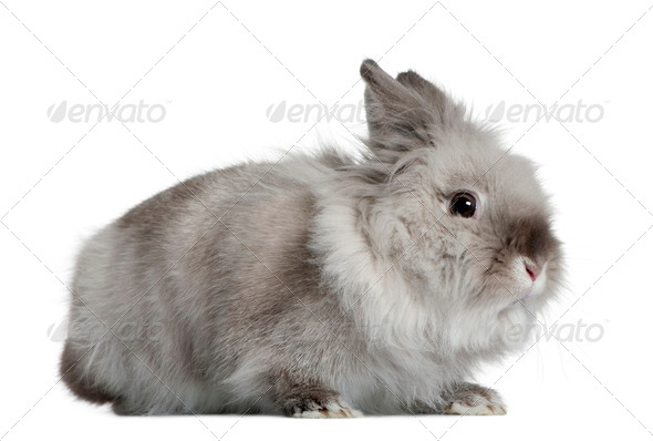 Rabbit, 1 year old, in front of white background - Stock Photo - Images