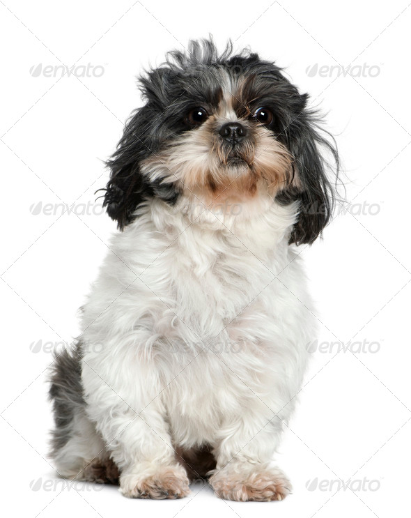 Shih Tzu, 7 years old, sitting in front of white background - Stock Photo - Images