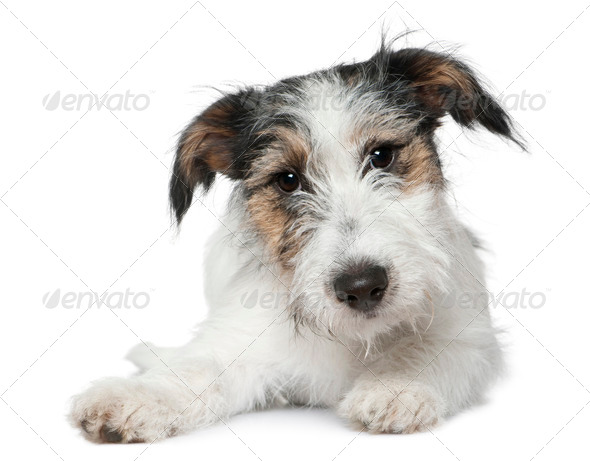 Jack Russell Terrier, 5 months old, lying in front of white background - Stock Photo - Images