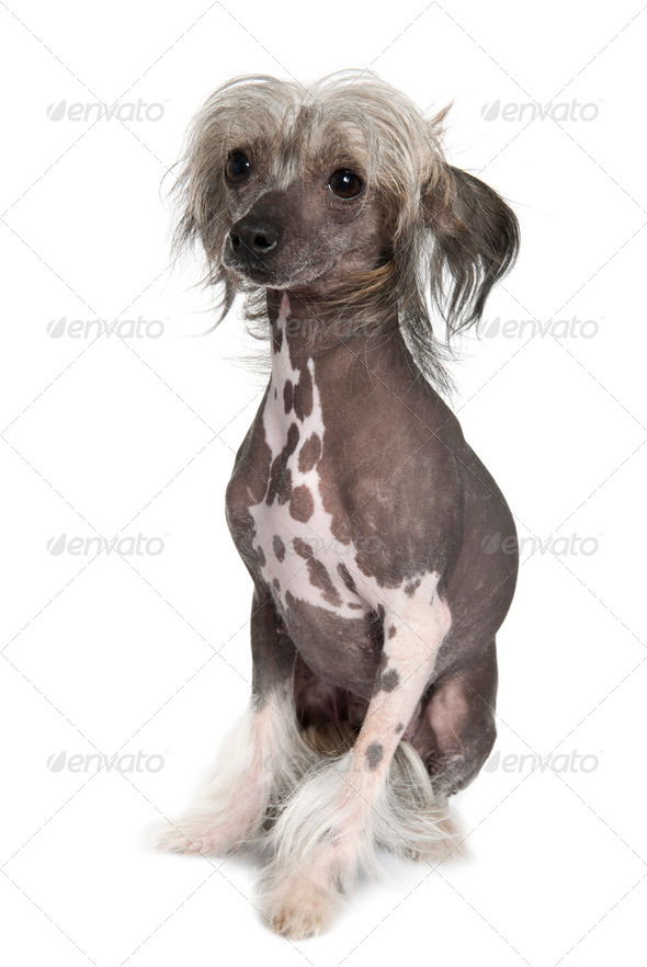 Chinese hairless crested dog, 2 years old, sitting in front of white background - Stock Photo - Images