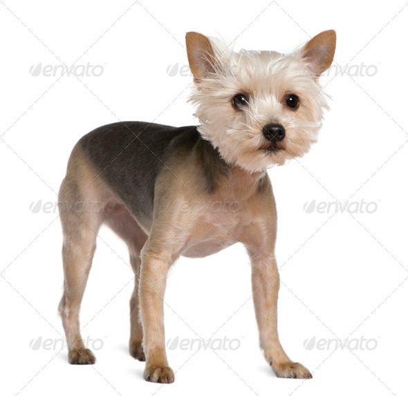 Yorkshire Terrier, 2 years old, standing in front of white background - Stock Photo - Images