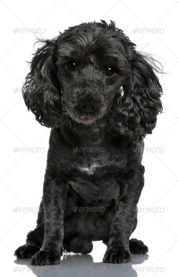 Poodle, 6 years old, sitting in front of white background - Stock Photo - Images