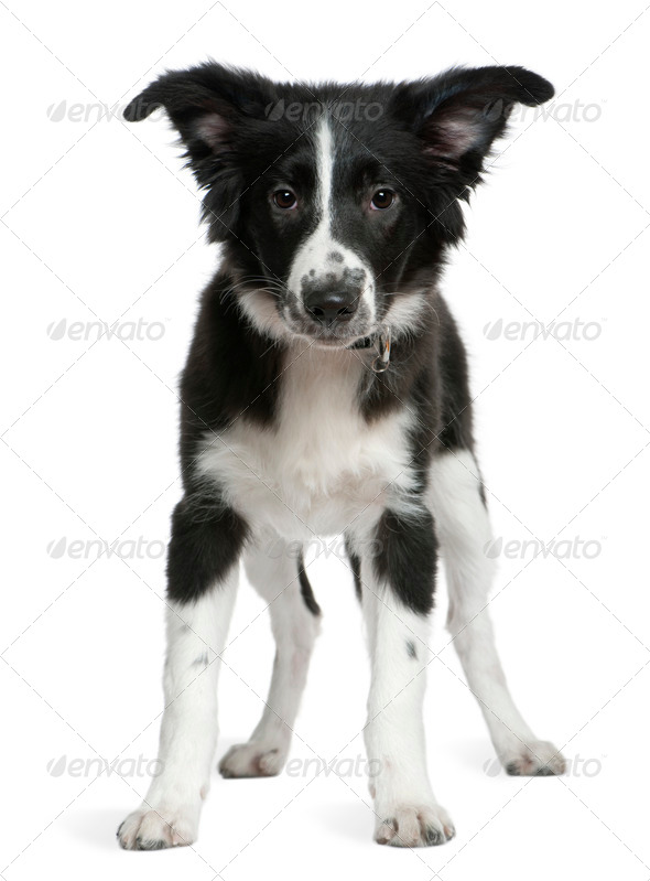 Border Collie puppy, 4 months old, standing in front of white background - Stock Photo - Images