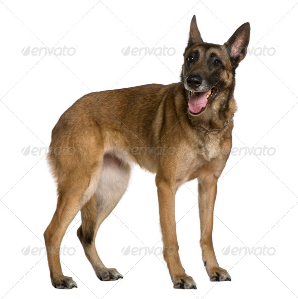 Belgian Shepherd dog, 9 years old, standing in front of white background - Stock Photo - Images