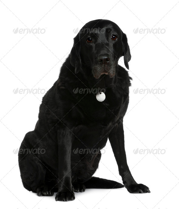 Labrador Retriever, 12 years old, sitting in front of white background - Stock Photo - Images