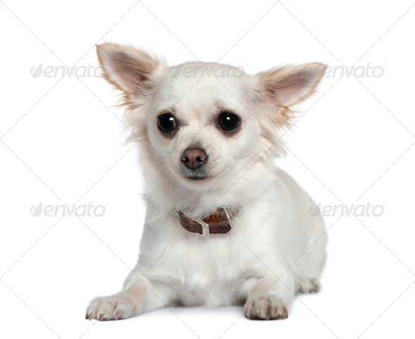 Chihuahua, 1 year old, in front of white background - Stock Photo - Images