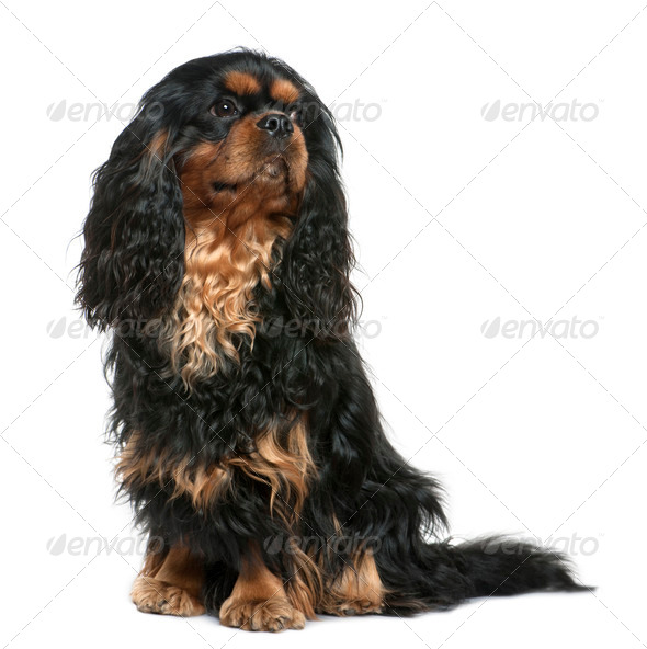 Cavalier king Charles dog, 1 year old, sitting in front of white background - Stock Photo - Images