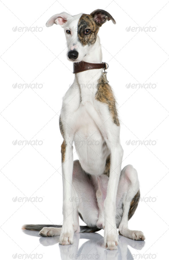 Galgo espanol dog, 1 year old, sitting in front of white background - Stock Photo - Images