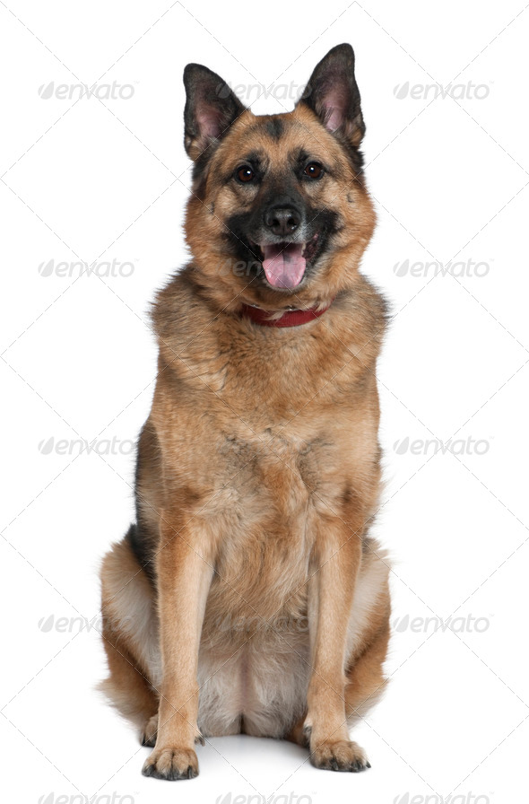 Mixed German Shepherd, 6 years old, sitting in front of white background - Stock Photo - Images