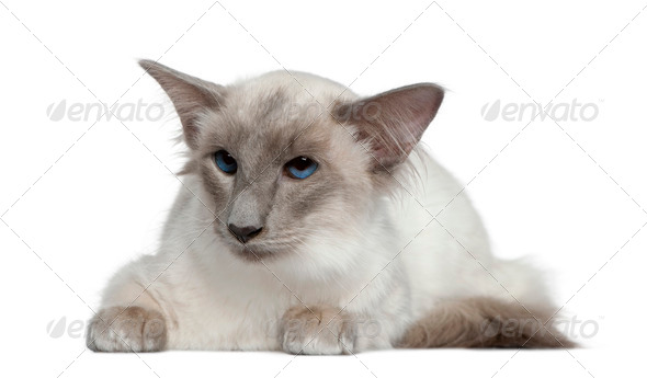 Balinese, 1 year old, lying in front of white background - Stock Photo - Images