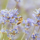 Bee in a Lavender Field in Wandin Victoria Australia - PhotoDune Item for Sale