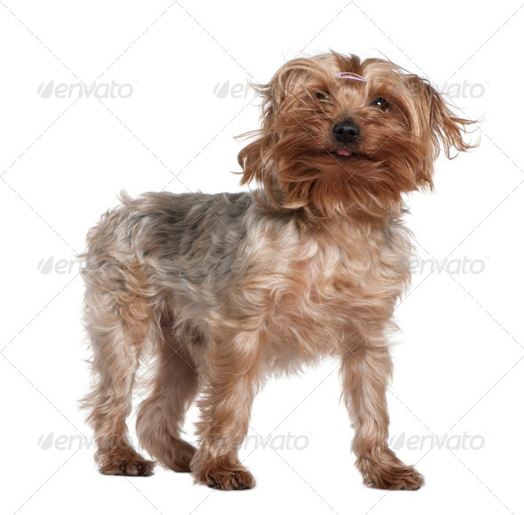 Yorkshire terrier, 4 years old, standing in front of white background - Stock Photo - Images