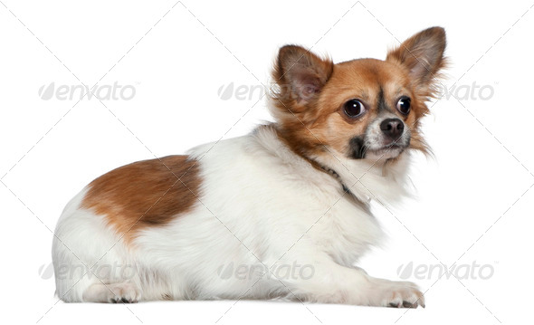 Chihuahua, 16 months old, lying in front of white background - Stock Photo - Images