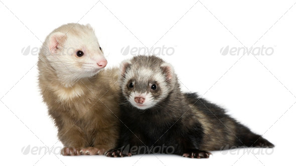 Two ferrets, 1 year old and 18 months old, in front of white background - Stock Photo - Images