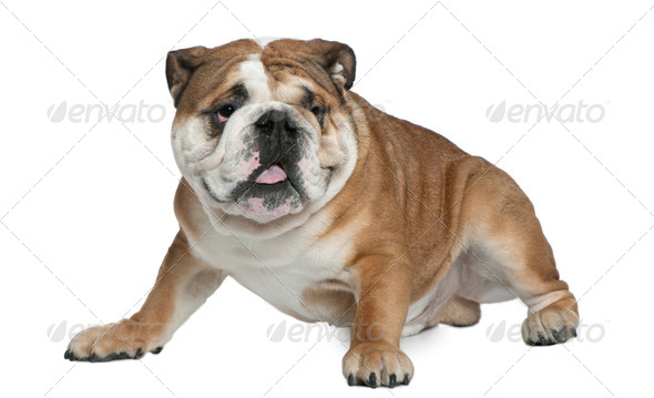 English bulldog, 1 and a half years old, sitting in front of white background - Stock Photo - Images