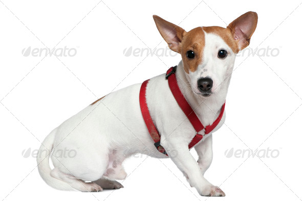 Jack Russell terrier in collar, 2 years old, sitting in front of white background - Stock Photo - Images