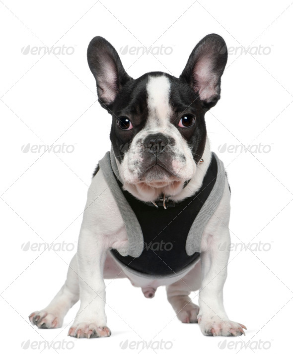 French bulldog puppy, 5 months old, in front of white background - Stock Photo - Images