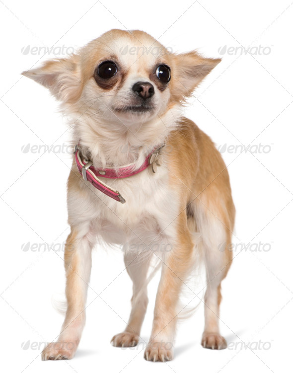 Chihuahua, 1 year old, standing in front of white background - Stock Photo - Images