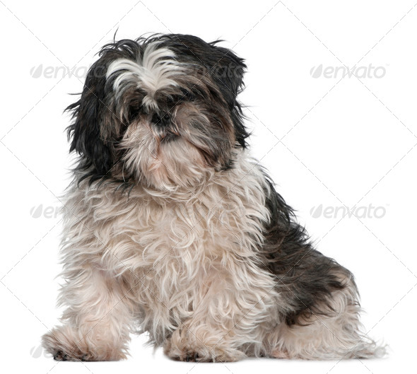 Shih Tzu, 3 years old, sitting in front of white background - Stock Photo - Images