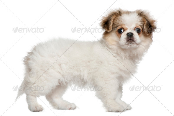 Pekingese puppy, 3 months old, standing in front of white background - Stock Photo - Images