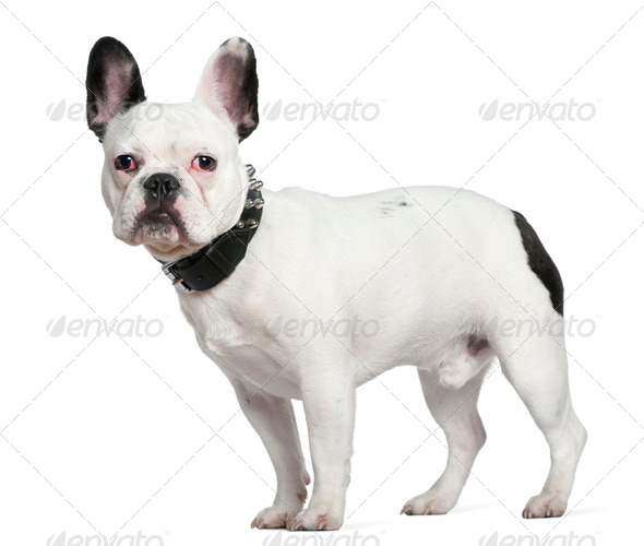French bulldog, 10 months old, standing in front of white background - Stock Photo - Images