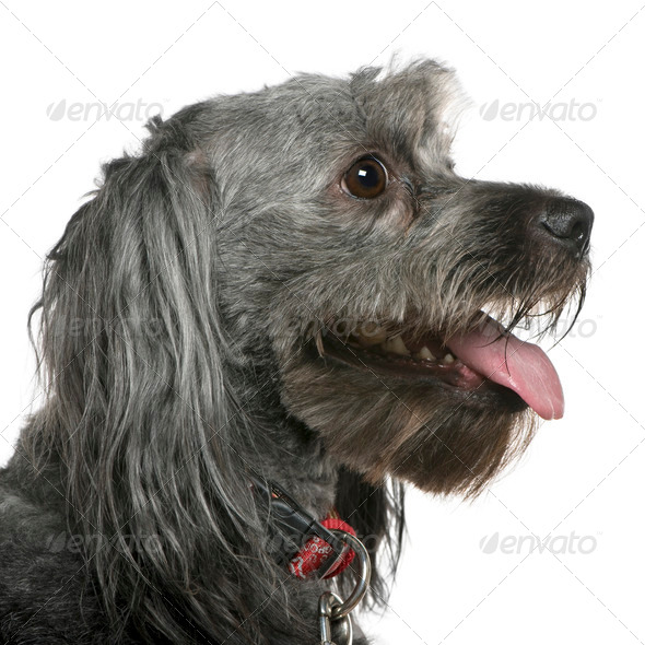 Close-up of Tibetan terrier, 3 years old, in front of white background - Stock Photo - Images