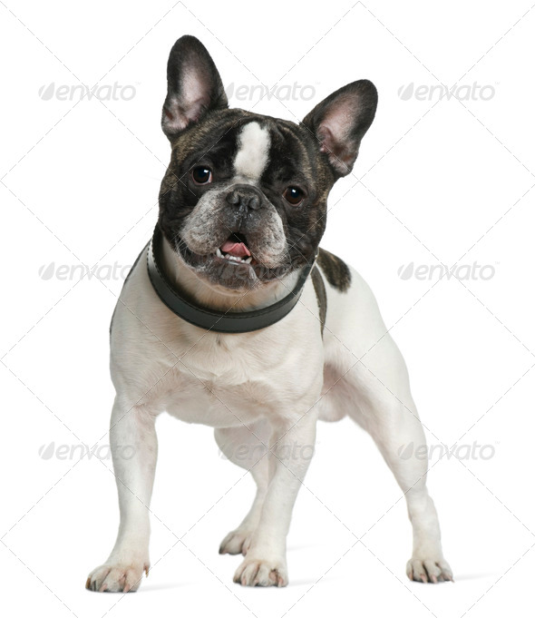 French bulldog, 15 months old, standing in front of white background - Stock Photo - Images