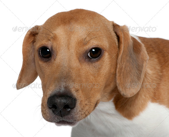 Close-up of Mixed-breed dog, 10 months old, in front of white background - Stock Photo - Images