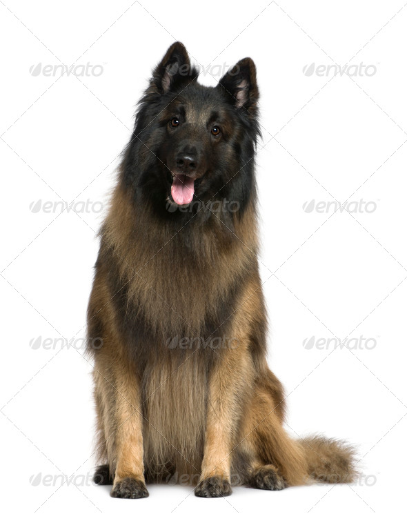 Belgian shepherd dog, Tervuren, 4 years old, sitting in front of white background - Stock Photo - Images