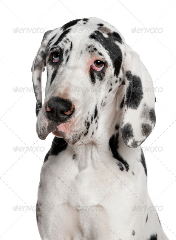 Great Dane puppy, 6 months old, in front of white background - Stock Photo - Images