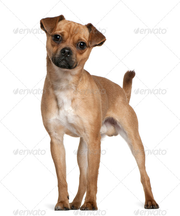 Mixed-breed dog, 1 year old, standing in front of white background - Stock Photo - Images