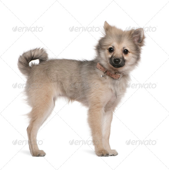 German spitz puppy, 6 months old, standing in front of white background - Stock Photo - Images