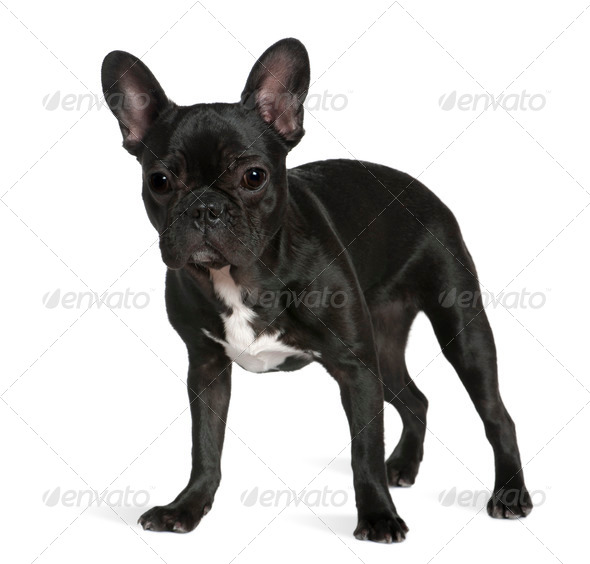 French bulldog, 8 months old, standing in front of white background - Stock Photo - Images