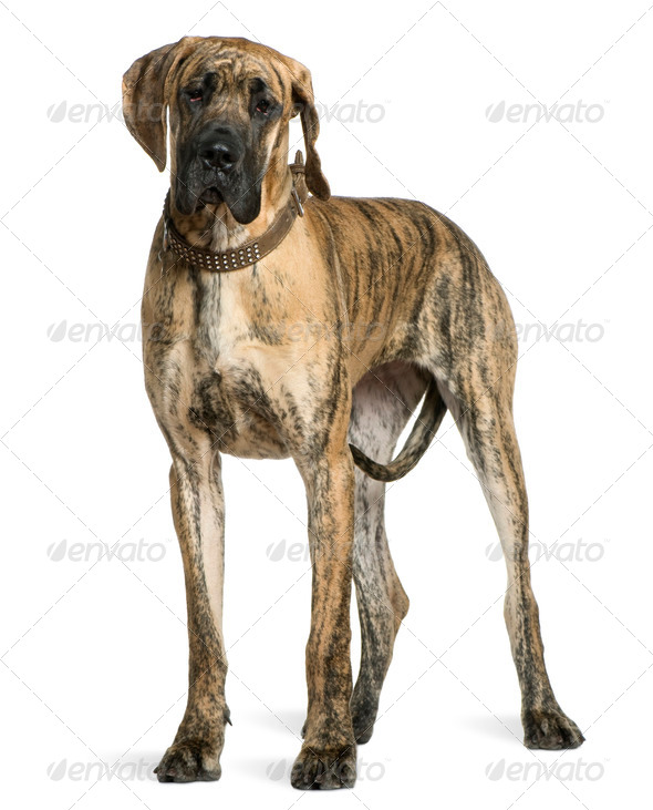 Great Dane, 10 months old, standing in front of white background - Stock Photo - Images