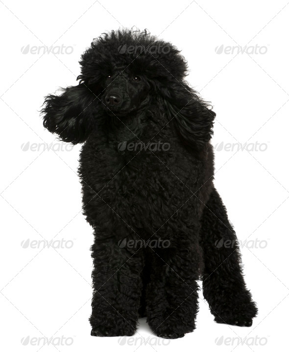 Poodle, 10 months old, standing in front of white background - Stock Photo - Images