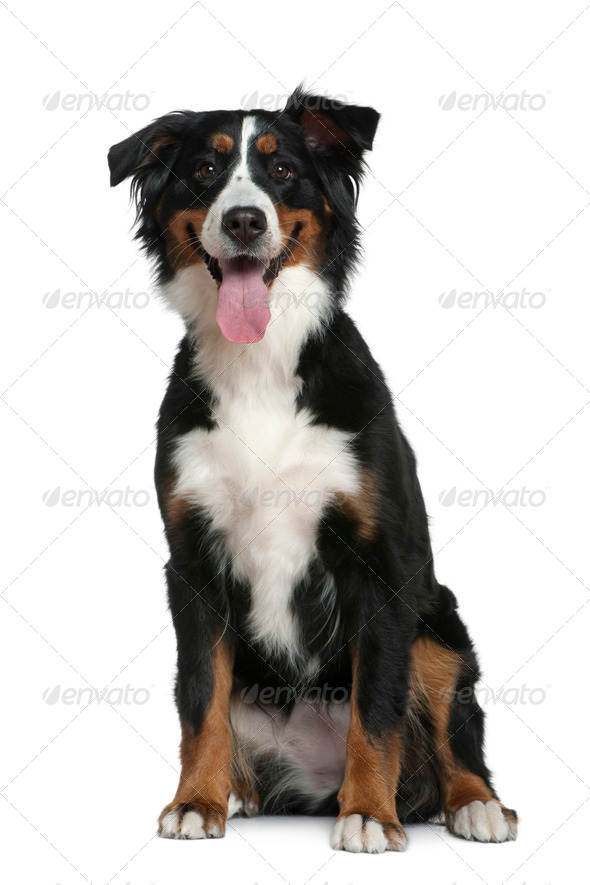 Bernese mountain dog, 18 months old, sitting in front of white background - Stock Photo - Images