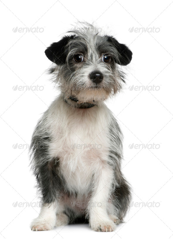 Mixed-breed dog, 6 months old, sitting in front of white background - Stock Photo - Images