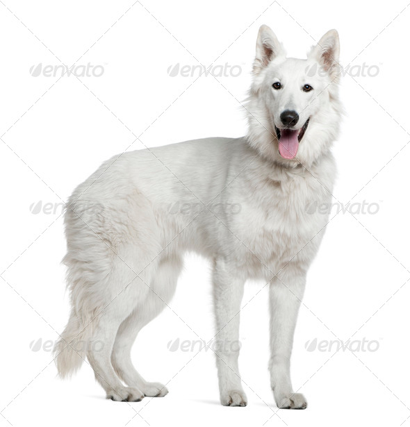 Berger blanc suisse, 1 year old, standing in front of white background - Stock Photo - Images