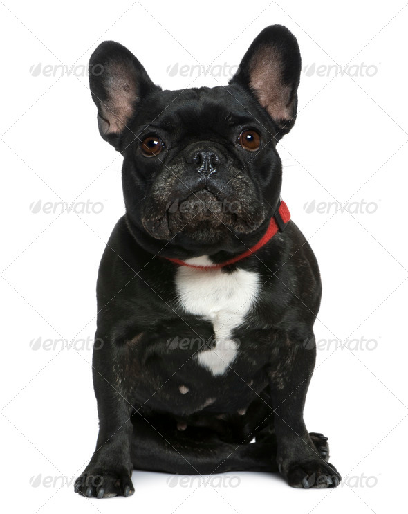 French bulldog, 7 years old, sitting in front of white background - Stock Photo - Images