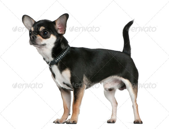 Chihuahua, 18 months old, standing in front of white background - Stock Photo - Images