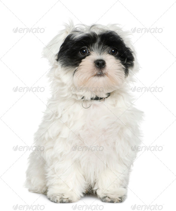 Havanese puppy, 3 months old, sitting in front of white background - Stock Photo - Images